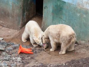 Návštěvníci uvidí krmení například ledních medvědů, foto: Brněnská Drbna, Miroslav Toman