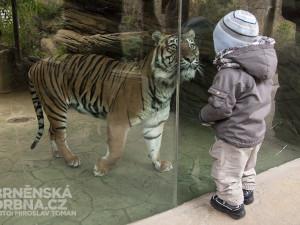 Tygřice Satu je jednou z hvězd brněnské zoo, foto: Brněnská Drbna, Miroslav Toman
