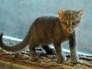 kotě jaguarundi