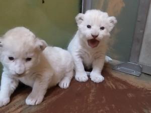 Lvíčata v Zoo Hodonín