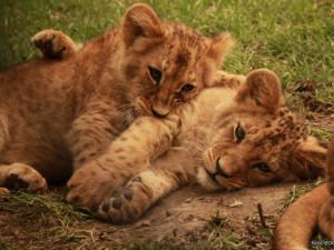 Lvíčata v brněnské zoo