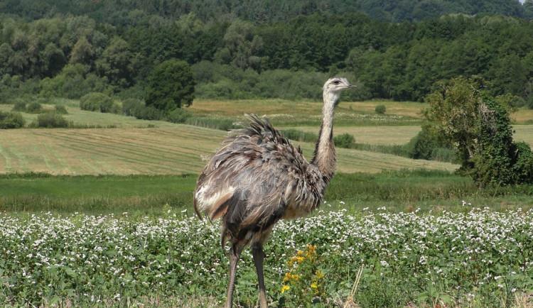 Chovateli utekla samice pštrosa. Ptáka honí 40 lidí, řezník i myslivci