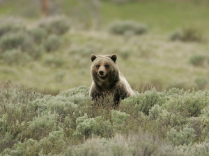 grizzly-bear-869223_960_720