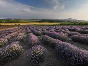 Levandulová farma ve Starovičkách