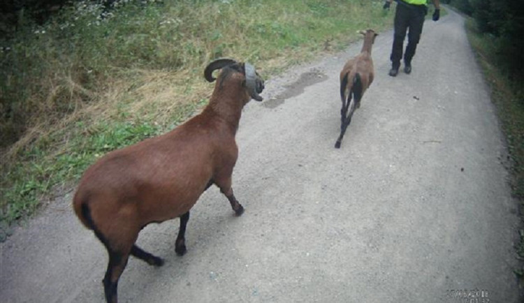 Brnem se spokojeně procházely ovce a kozy. Nejsou to aligátoři, vzkázal strážníkům majitel
