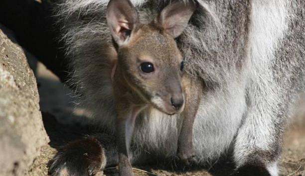V Zoo Hodonín se letos narodili klokani, zebry i velbloud