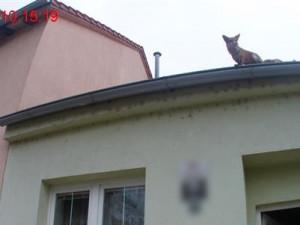 Liška na střeše
