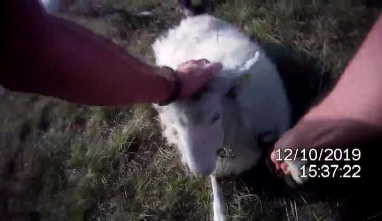 VIDEO: Strážníci zachránili ovečku, kterou uvěznil trnkový keř