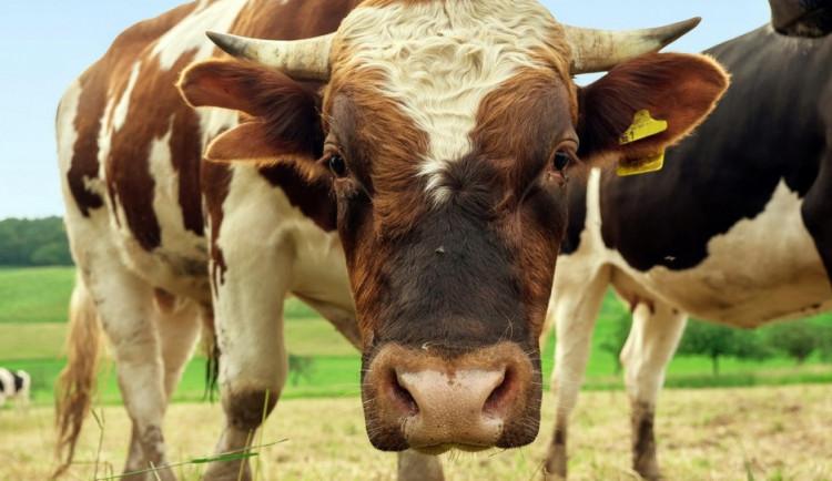 U Moravského Krumlova havaroval kamion s býky. Dva utekli, jeden byl rozzuřený
