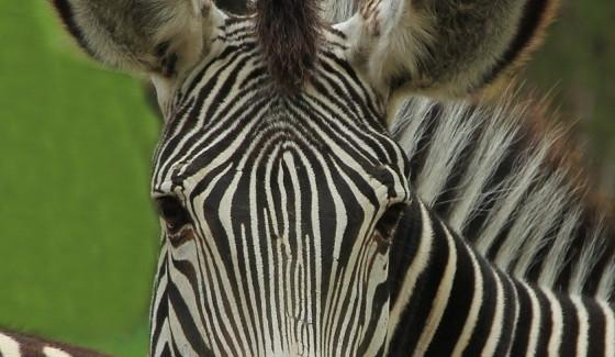 2. místo Karel Báča – snímek zebry Grévyho